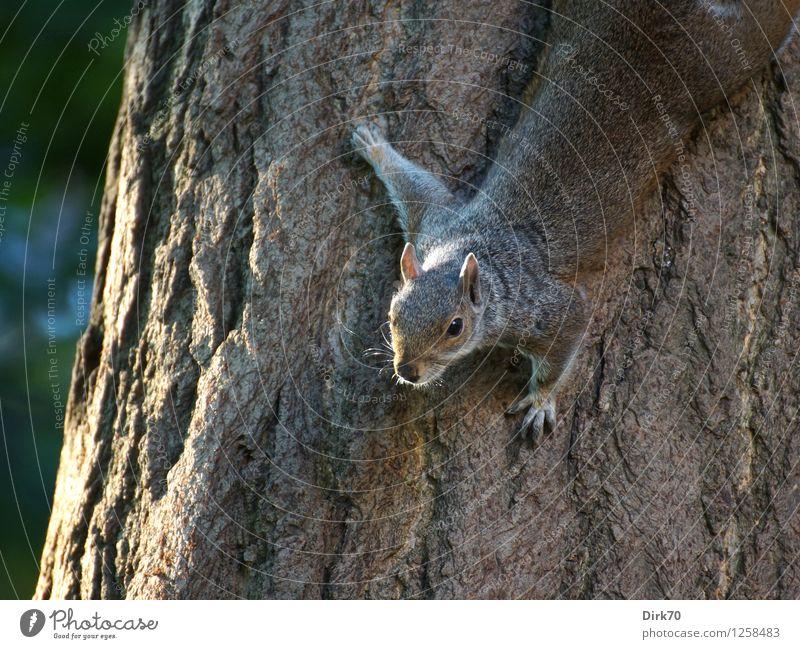 Kletterkünstler kopfunter grün Sommer weiß Baum Tier schwarz grau Garten braun Park Wildtier frei hoch Geschwindigkeit beobachten niedlich