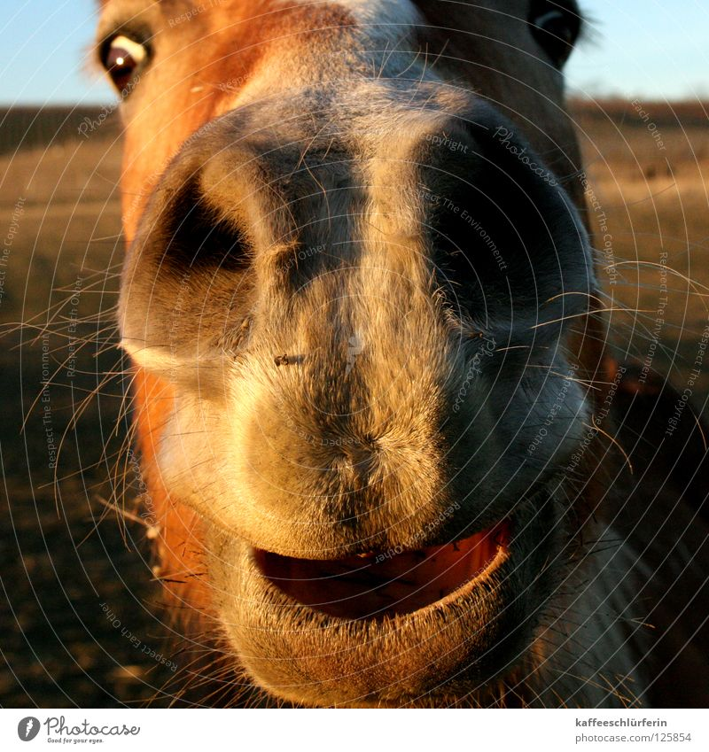 Schnuffelpferd Pferd Nüstern Feld Abendsonne Physik Säugetier Maul Wärme Nahaufnahme Nase
