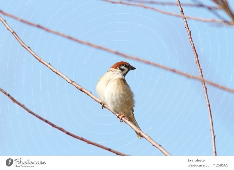 männlicher Spatz auf Zweig Leben Haus Garten Mann Erwachsene Umwelt Natur Tier Vogel beobachten sitzen klein niedlich wild braun Ast Tierwelt schließen