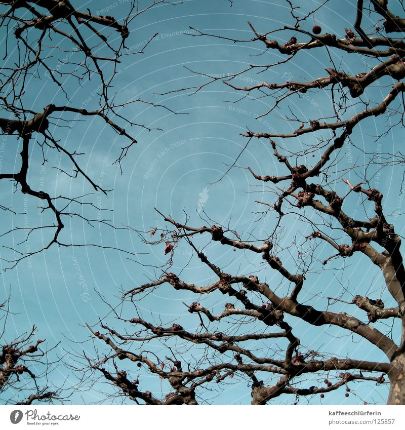knorrig, Platane Himmel Baum blau Holz Ast Platane