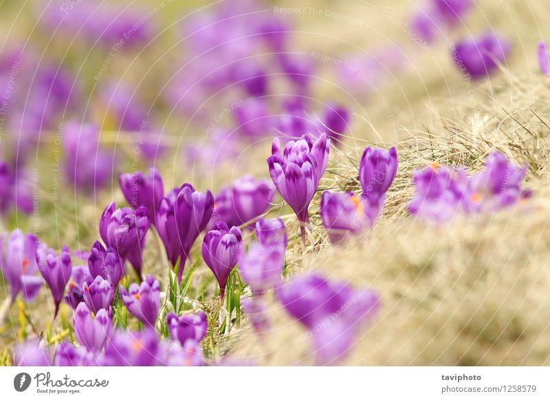 Frühlingskrokusse auf Bergwiese schön Berge u. Gebirge Garten Umwelt Natur Landschaft Pflanze Blume Gras Blüte Park Wiese hell natürlich wild blau grün Farbe