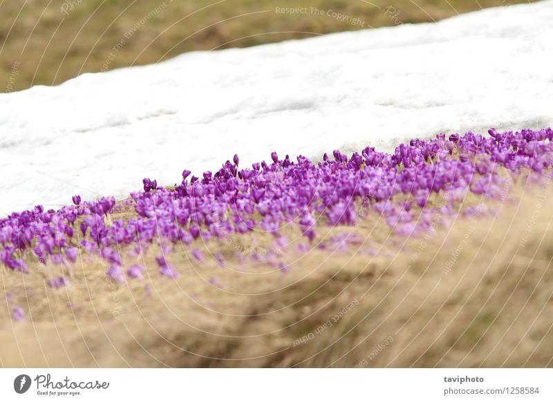 Winter und Frühling auf der Wiese Natur Pflanze schön Farbe weiß Blume Berge u. Gebirge Leben Blüte Gras natürlich Schnee wild Wachstum