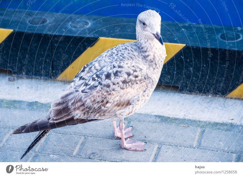 junge Silbermöwe sitzt im Hafen Natur Tier Wasser Ostsee Vogel Tierjunges blau Larus argentatus Pontoppidan Mole Möwe Seevogel Meeresfauna Widltier
