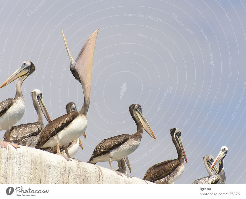 mehr! Himmel Tier Mauer Vogel Appetit & Hunger Schnabel Chile Südamerika Pelikan Arica