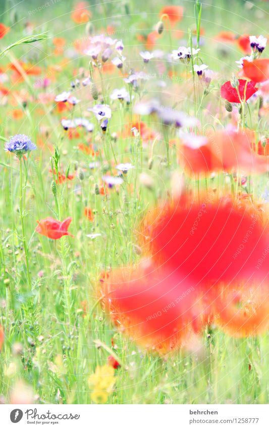 mo(h)ntagswischiwaschi Natur Pflanze Frühling Sommer Schönes Wetter Blume Gras Blatt Blüte Wildpflanze Mohn Garten Park Wiese Blühend Duft verblüht Wachstum