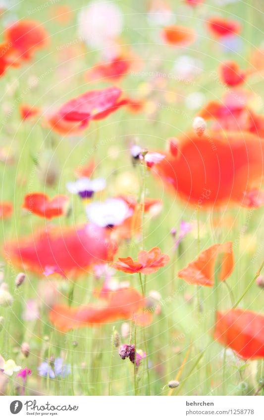 mo(h)ntagstraum Natur Pflanze Frühling Sommer Schönes Wetter Blume Gras Blatt Blüte Wildpflanze Mohn Garten Park Wiese Blühend verblüht Wachstum Duft hell schön