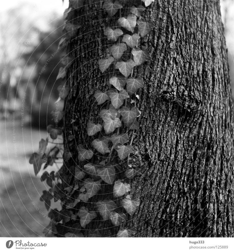 Melancholy Forest Baum Baumstamm Efeu Blatt Wald Park Märchen hängen Holz Mittelformat Photosynthese Abschied Trauer ruhig Einsamkeit Holzmehl Baumrinde dunkel