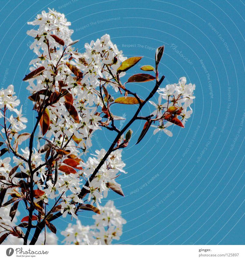 Frühlingsversprechen - bald blühen sie wieder Natur Himmel Blüte Blühend oben blau grün weiß Ast Blütenblatt Menschenleer Wolkenloser Himmel Zweige u. Äste
