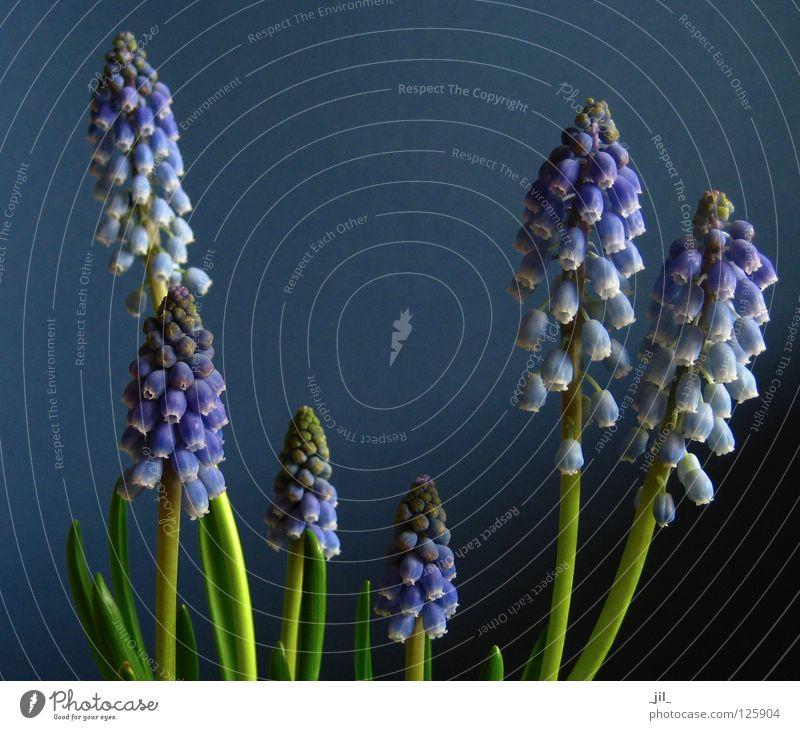 blue blau grün schön Pflanze Ferne kalt klein groß violett nah harmonisch Fantasygeschichte Sympathie Glocke Dimension Hyazinthe