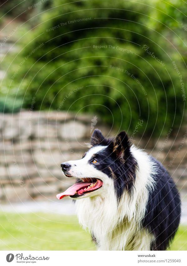 Hund weiß Freude Tier schwarz Gras Spielen Garten Kopf Aktion Textfreiraum Fröhlichkeit warten beobachten niedlich Haustier
