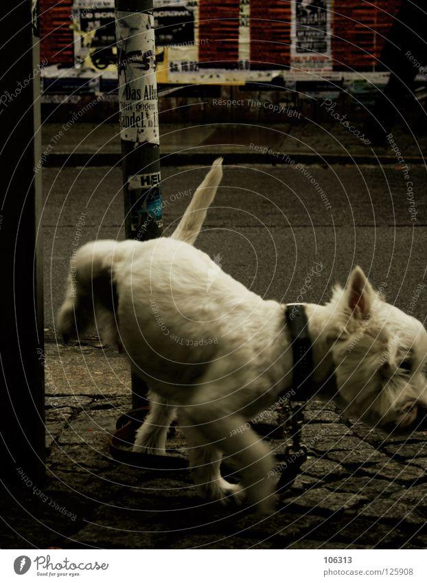 KLEINER REGENTANZ urinieren Hund weiß angeleint Tier Stadt Dresden Neustadt alternativ Einsamkeit klein Haustier Treue ausgesetzt Tierheim Hoffnung Säugetier