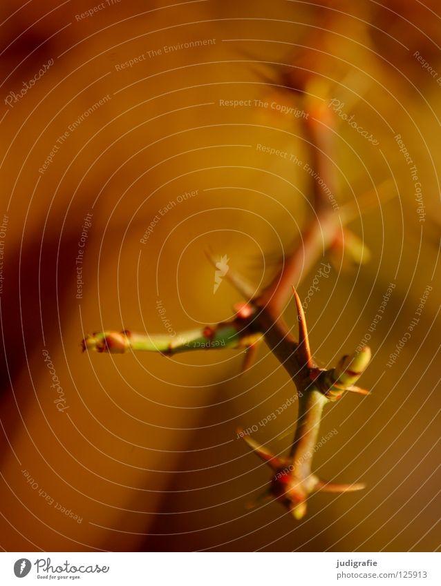 Dornen Natur Pflanze Farbe Umwelt braun Wachstum Spitze Blütenknospen Zweig stachelig Stachel Dorn gedeihen wehren wehrhaft