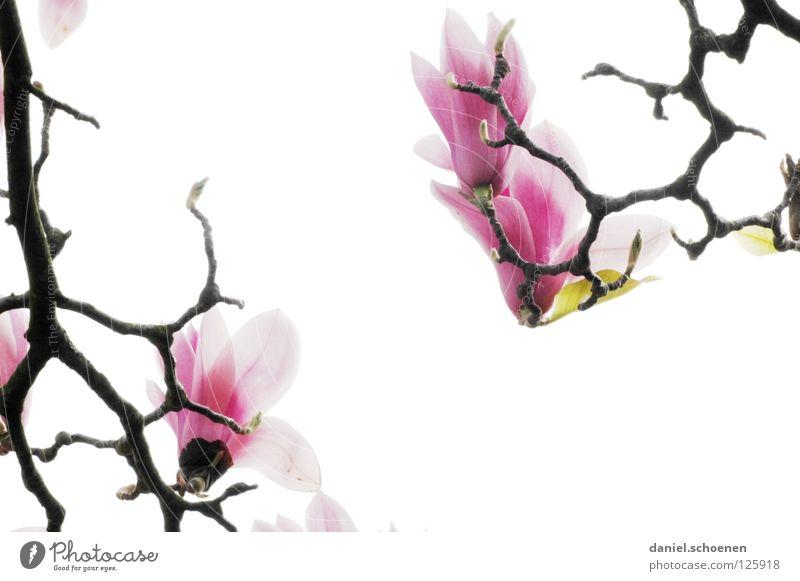 Gegenlichtmagnolie weiß Baum Pflanze rot Blume Blüte Frühling hell abstrakt rosa Hintergrundbild Makroaufnahme Ast Blütenknospen Blütenblatt Magnoliengewächse