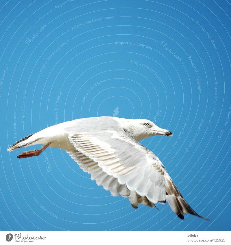 Aus dem Schulbuch für Möwenflugstunden weiß schwarz Meeresvogel Vogel Tier Federvieh Unendlichkeit schön perfekt stahlblau tief Außenaufnahme Möve Möven elegant