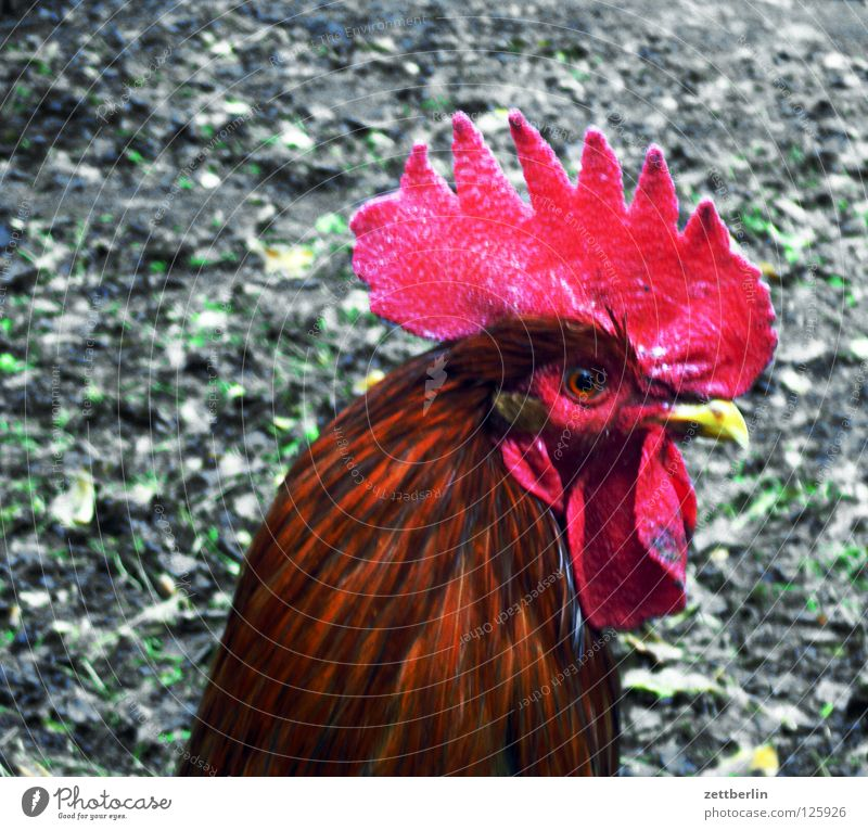 Hahn Auge Vogel Brand Feder Landwirtschaft Ei Cocktail Haushuhn Feuerwehr Krähe Tier Cholesterin Hahnenkamm