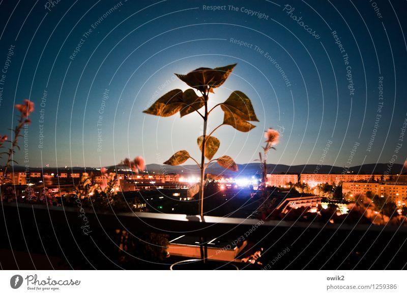 Moonlight Serenade Pflanze Blatt Haus Gebäude Deutschland Wachstum leuchten stehen Aussicht Geländer Balkon Sachsen Plattenbau Kleinstadt Sonnenblume