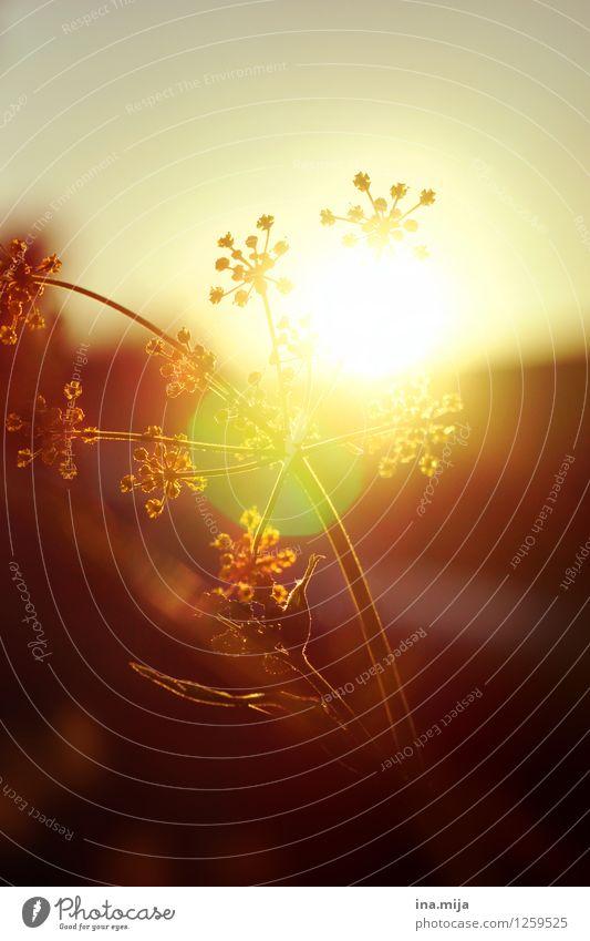 bevor die Sonne unterging... Umwelt Natur Landschaft Pflanze Frühling Sommer Herbst Wetter Schönes Wetter Wildpflanze Garten Wiese fantastisch glänzend Wärme