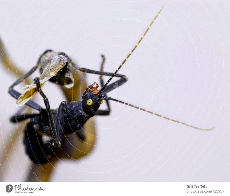 Pfefferschrecke schwarz Auge gelb Körperhaltung Insekt hängen Schrecken Terrarium