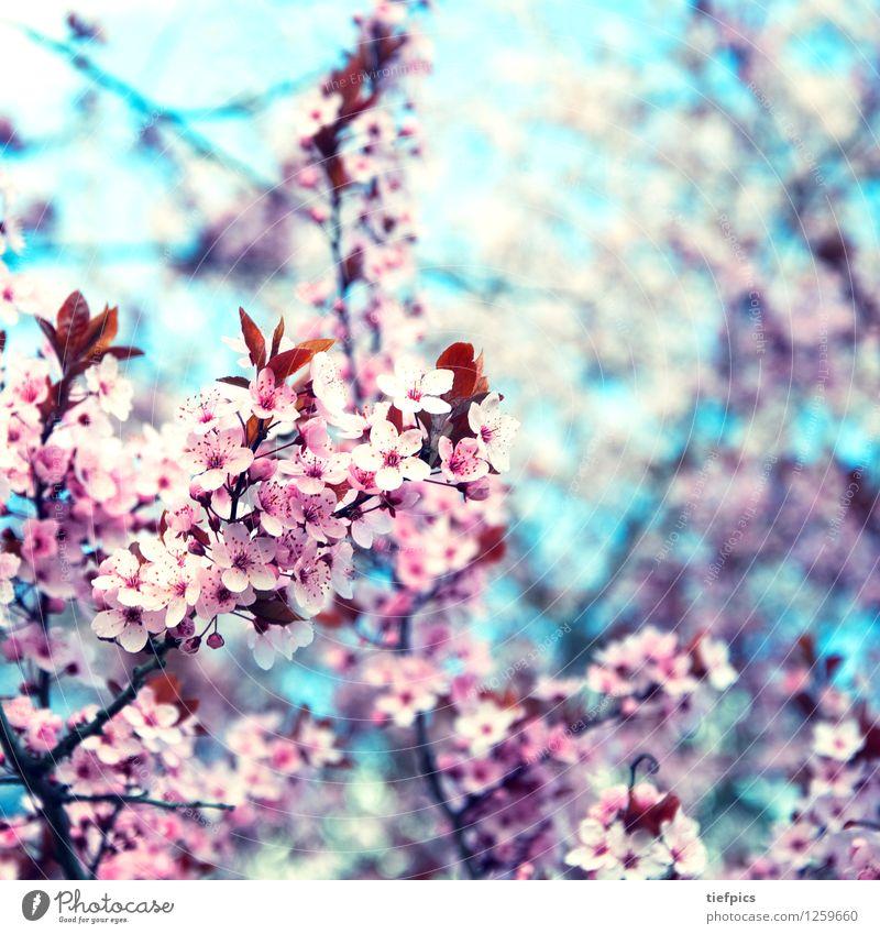 Krischblüte Frühling Blüte rosa retro Zweig Blütenknospen Quadrat Blauer Himmel Kirsche Kirschblüten Kirschbaum Retro-Farben