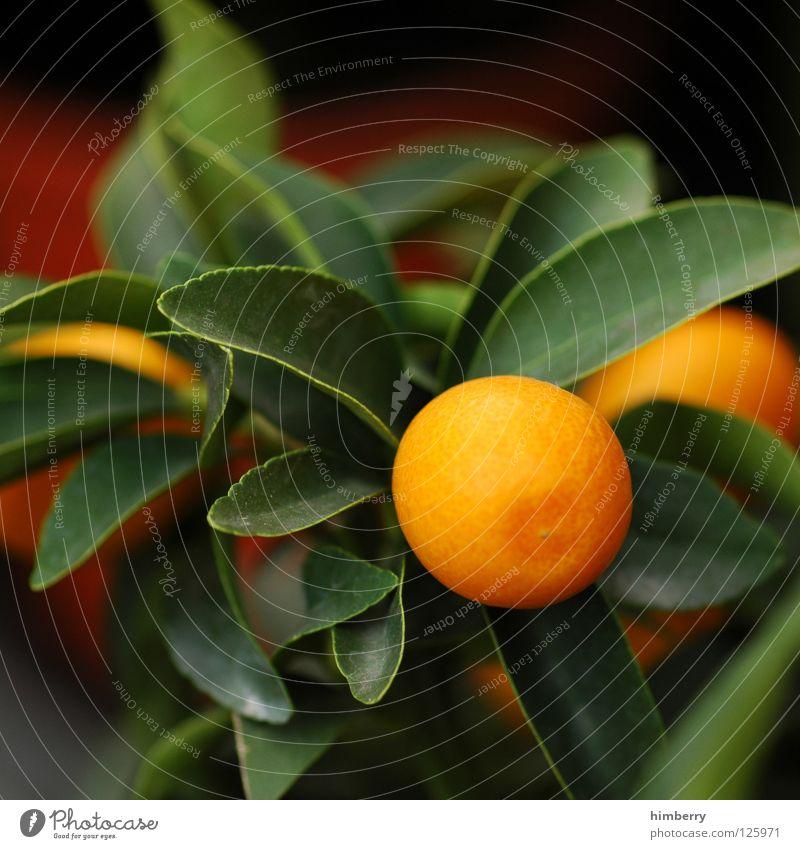 mandarina noon soon Frucht Mandarine Orange Baum Pflanze Vitamin Gesundheit Garten Balkon Terrasse Design Topf zittrig Zeitreise Zitrusfrüchte Zimmerpflanze