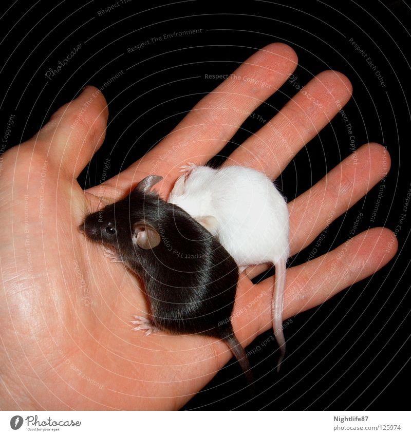 Black and White Hand weiß schwarz Tier dunkel klein hell Fuß süß gut Macht verstecken böse Maus Säugetier Haustier