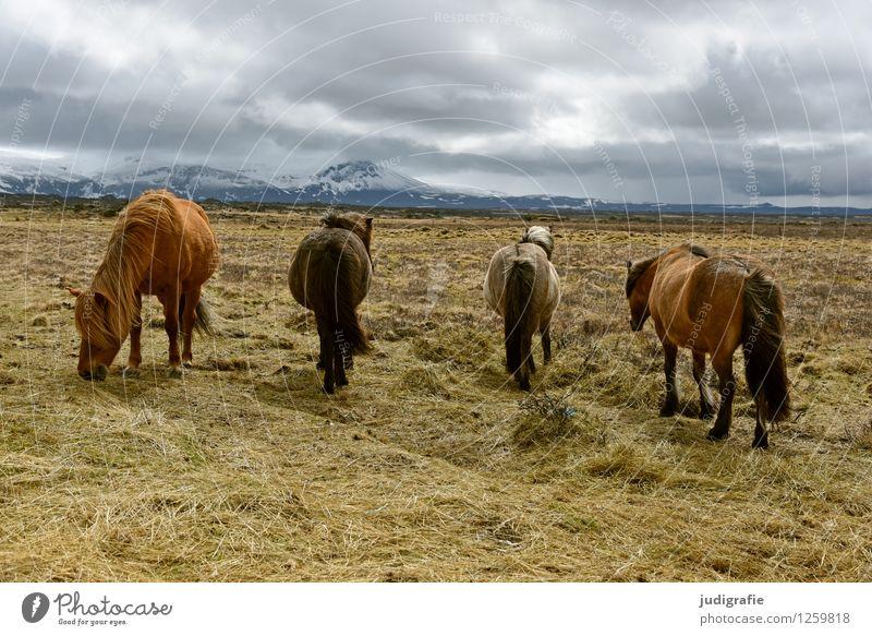 Island Umwelt Natur Landschaft Himmel Wolken Klima Berge u. Gebirge Schneebedeckte Gipfel Tier Wildtier Pferd Island Ponys 4 Fressen natürlich wild Stimmung