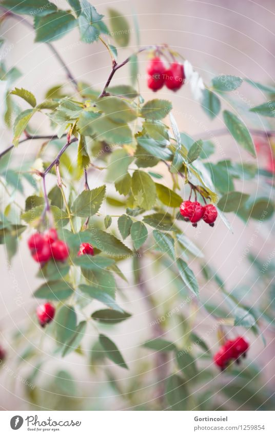 Hundsrose Natur Pflanze grün rot Umwelt Herbst Frucht Sträucher herbstlich Hagebutten