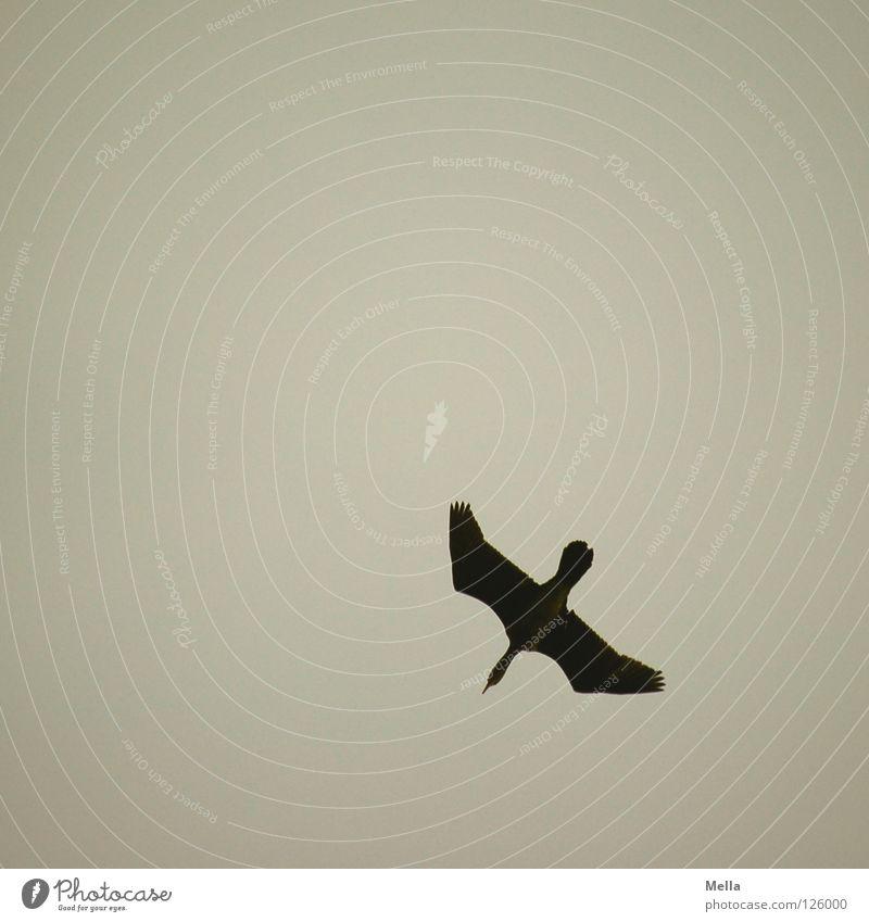 Sturzflug Himmel Winter Einsamkeit grau Vogel fliegen Luftverkehr Flügel Segeln abwärts Gans Absturz Abheben trüb gleiten ausbreiten