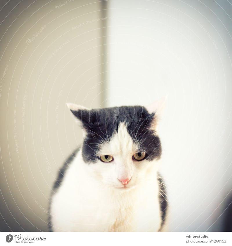 Bösartig Katze Coolness böse Bösewicht Blick Aggression Schlitzohr Kater Findus Hauskatze Schwarzweißfoto Färbung Maske Ärger Schlechte Laune Diva gefährlich