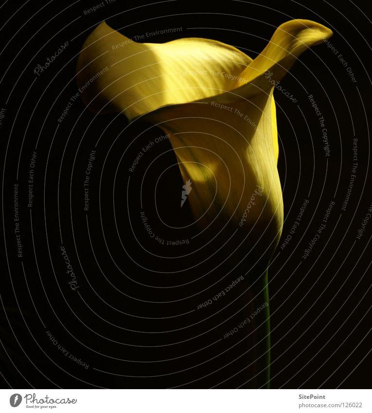 Calla schön Blume schwarz gelb elegant zart