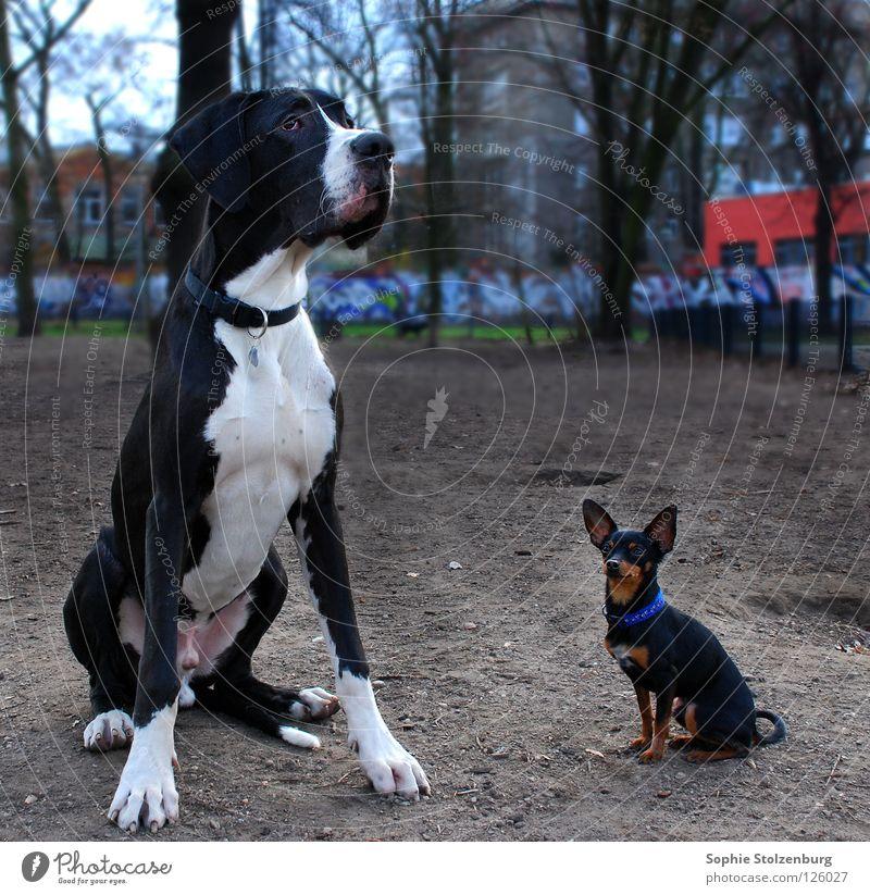 Dick und Doof Deutsche Dogge Hund Größenunterschied Freundschaft Säugetier Groß und Klein Zwergpinscher ungleiches Paar