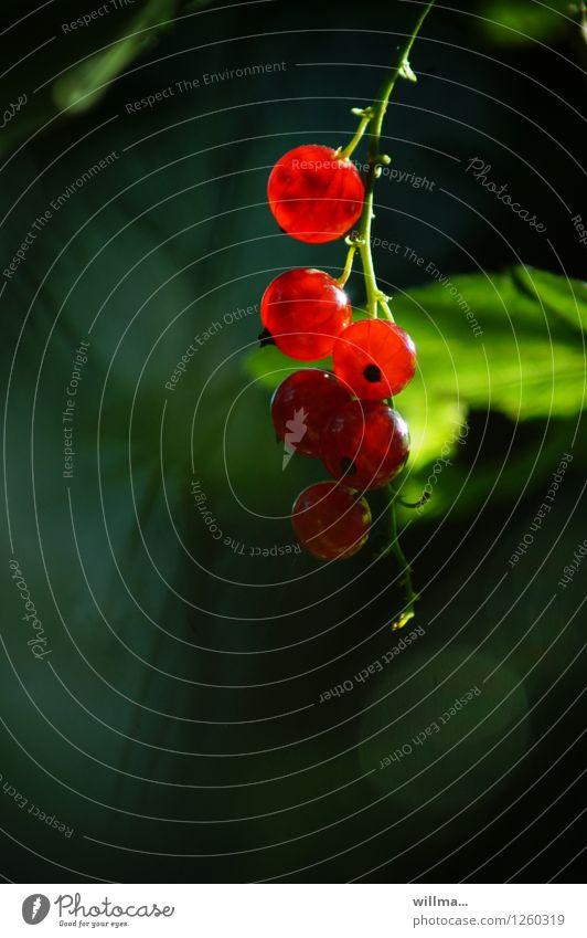 johannisbeeren - leicht zu durchschaun Lebensmittel Frucht Ernährung Beeren Johannisbeeren Beerenfruchtstand Gesundheit grün rot lecker vitaminreich