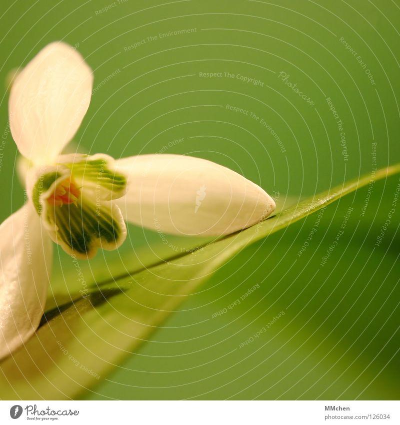 Ventilator weiß Blume grün Pflanze Winter Blüte Frühling offen Zwiebel Schneeglöckchen Blütenkelch Knollengewächse