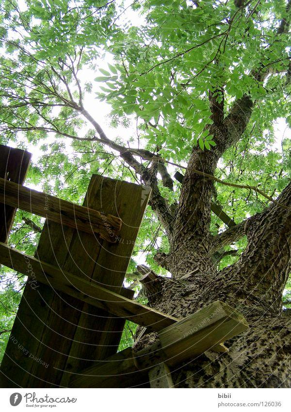 Kletterbaum alt Pflanze grün schön Baum Erholung Einsamkeit Blatt Holz hoch gefährlich Ast kaputt Baumstamm verfallen Holzbrett
