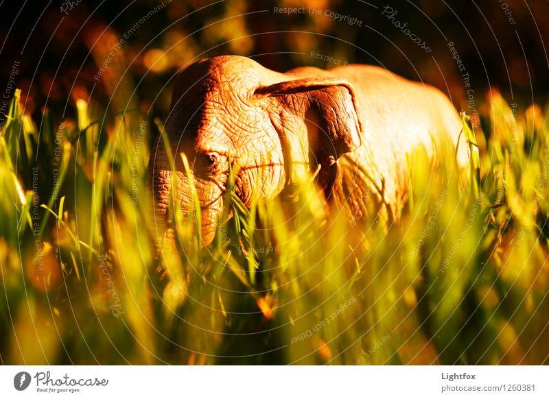 Rastasafari Zoo Streichelzoo Elefant 1 Tier Kunststoff Erdöl Diät alt Arbeit & Erwerbstätigkeit Fressen Jagd kämpfen muskulös nachhaltig braun gelb gold Gefühle