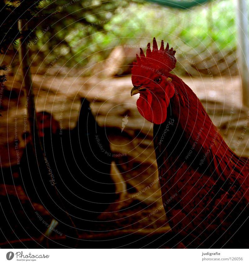 Hahn rot Farbe Vogel Feder Flügel Landwirtschaft Bauernhof Haustier Schnabel Stolz Tierzucht Haushuhn Federvieh Kamm freilaufend