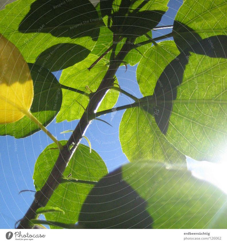 erste Frühlingsgefühle Blatt grün Blattadern Schönes Wetter Blume Fensterbrett durchscheinend Farbe blau Himmel Sonne frühlingshaft Beleuchtung Zweig