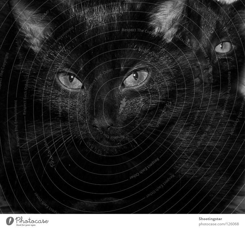 Schau mir in die Augen Katze Schnurrhaar bewegungslos tief Haustier Miau schwarz Fell Kuscheln Blick süß böse Säugetier Katzenauge beobachten 2 hintereinander