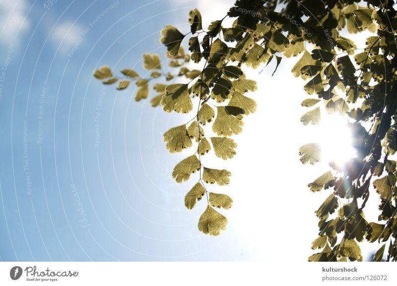 frühlingshafter sonntagnachmittag... Gegenlicht grün Frühling Erholung verschlafen durchscheinend zerbrechlich Himmel blau Sonne Echte Farne blich in den himmel