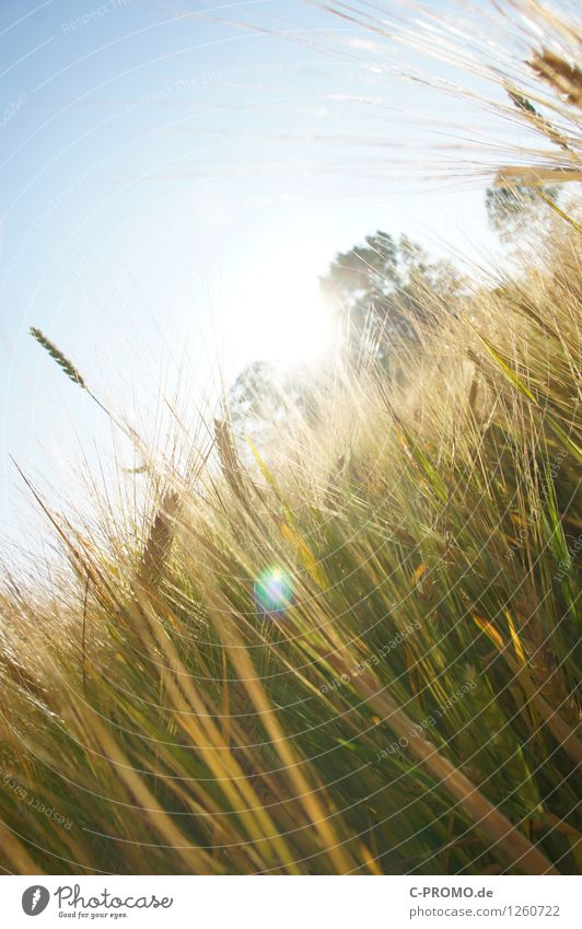 Into the light Himmel Natur blau Pflanze grün Sommer Sonne Umwelt Wärme Feld gold Getreide Wolkenloser Himmel Halm Weizen Nutzpflanze