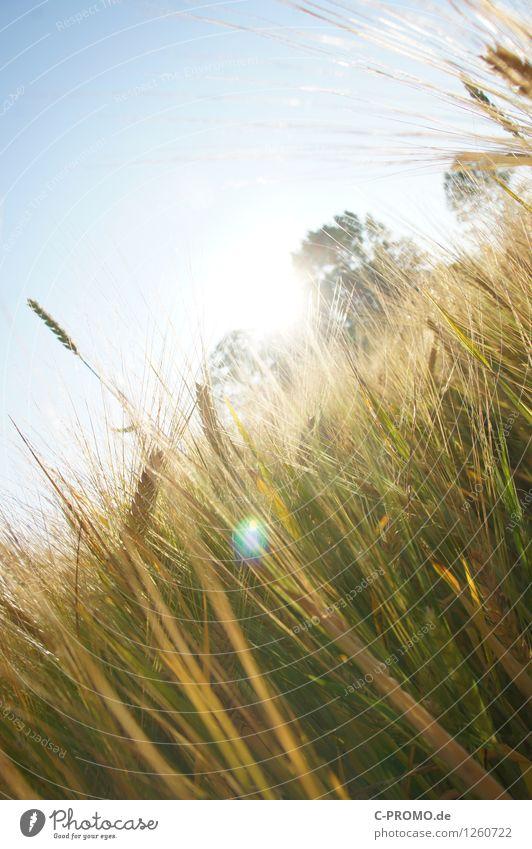 Into the light Umwelt Natur Himmel Wolkenloser Himmel Sonne Sommer Pflanze Nutzpflanze Feld Wärme blau gold grün Getreidefeld Halm Weizen Roggen Farbfoto