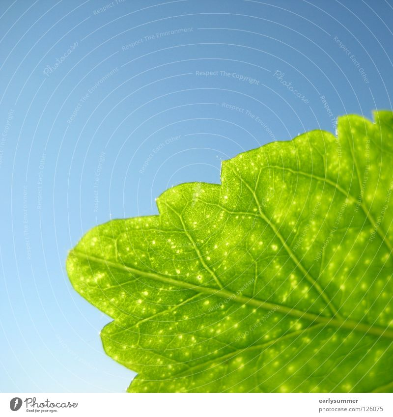 green & blue Natur Himmel grün blau Pflanze Blatt Farbe hell Hintergrundbild nah Ast durchsichtig Botanik Gefäße himmelblau Photosynthese