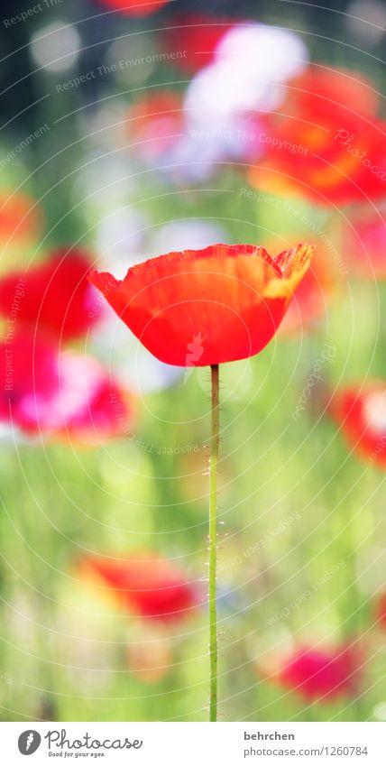 mo(h)nday again... Natur Pflanze Frühling Sommer Schönes Wetter Blume Gras Blatt Blüte Wildpflanze Mohn Garten Park Wiese Feld Blühend leuchten verblüht