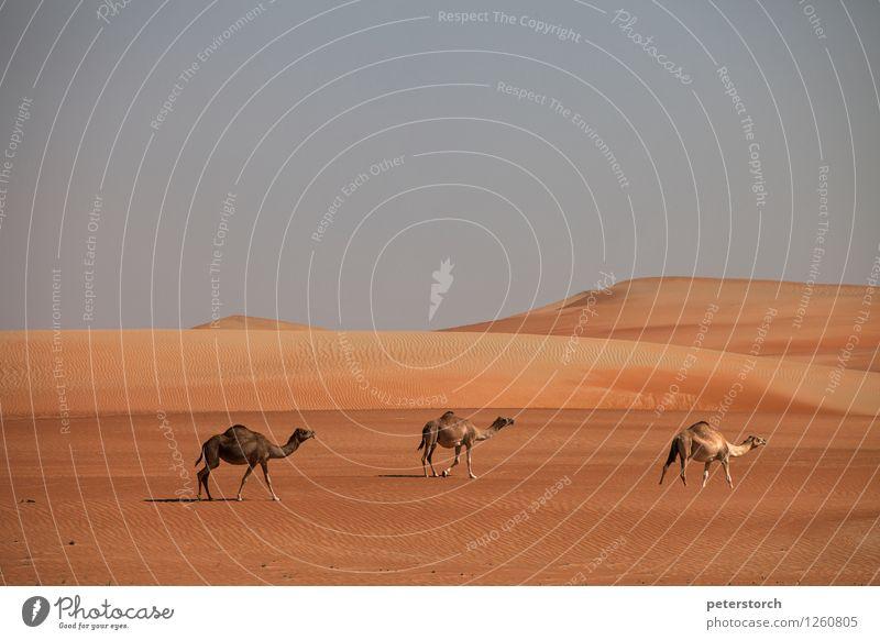 wo sind die Könige? Ferien & Urlaub & Reisen Ferne Natur Sand Wolkenloser Himmel Wüste Dromedar 3 Tier elegant exotisch Unendlichkeit heiß trocken Zusammensein