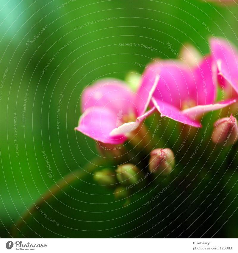 rosaglitzerkrone Blume Blüte weiß Blütenblatt Botanik Sommer Frühling frisch Wachstum Pflanze gelb Hintergrundbild Park Makroaufnahme Nahaufnahme flower