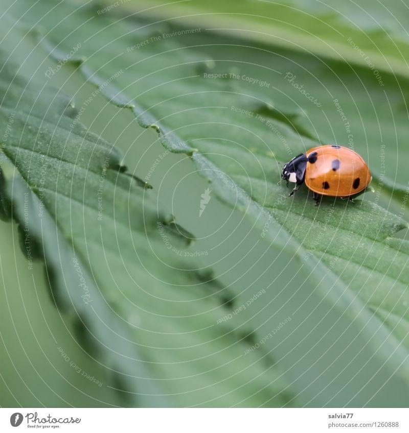 Hanf im Glück Pflanze Tier Sommer Gras Blatt Grünpflanze Nutzpflanze Wildtier Käfer Marienkäfer Insekt 1 berühren Erholung genießen krabbeln sitzen wandern