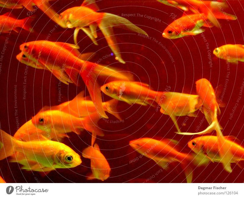 Fischers Fritz fischt frische Fische, frische Fische... Wasser rot Meer Tier gelb Leben See Freundschaft Zusammensein orange nass gold mehrere Freizeit & Hobby