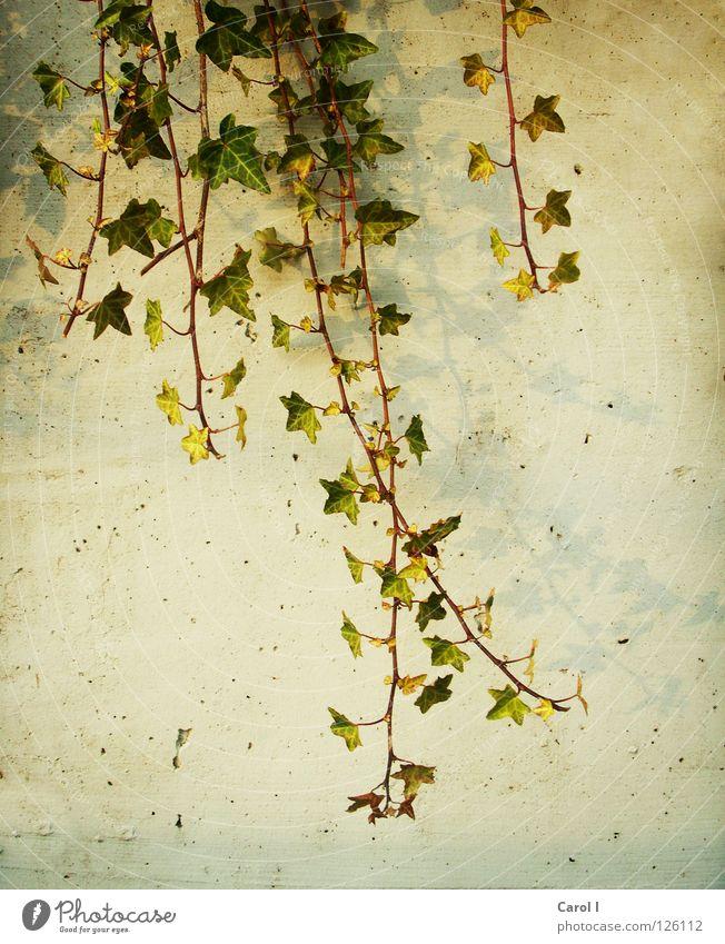 Grünzeug schön grün Pflanze Blatt gelb Wand Mauer dreckig Wachstum Dekoration & Verzierung Loch Efeu pflanzlich Tarnung Grünpflanze