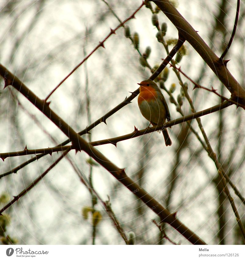 Rotkehlchenwinter (fast Frühling) Umwelt Natur Pflanze Tier Baum Sträucher Ast Zweige u. Äste Vogel 1 hocken sitzen frei klein natürlich niedlich grau Freiheit
