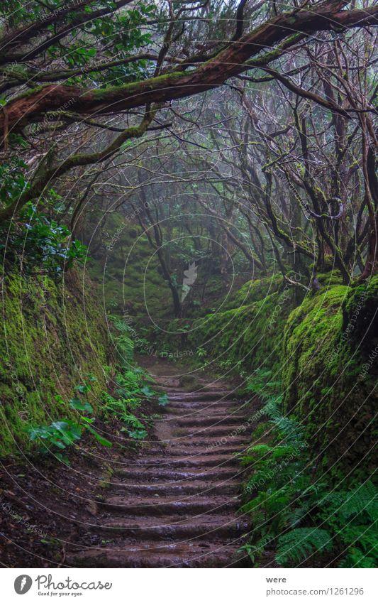 Im Lorbeerwald Natur Ferien & Urlaub & Reisen Pflanze Blatt dunkel Wald Nebel Spanien Hotel Umweltschutz Urwald Tourist unheimlich Biotop Teneriffa Geografie